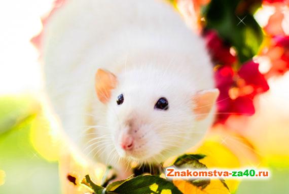 Совместимость Крысы (Мыши) по гороскопу с другими знаками в любви и браке по их характеристике