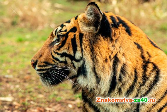 Знак Тигр - совместимость по годам с другими символами по восточному гороскопу для любви и брака